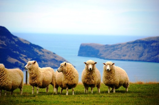 New Zealand sheep industry